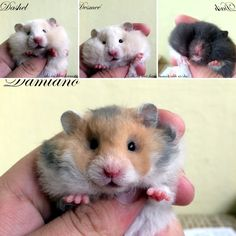 chs in blue hamster Funny Hamsters, Memes, Blue, Animals, Animales, Animaux, Meme, Animal, Animais