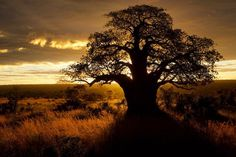 Photo by @TimLaman.  Baobab Tree backlit by the rising sun in Tarangire National Park, Tanzania.  Tarangire is one of the best sites in E Africa to see spectacular ancient Baobab Trees at least 1000 years old like this one.  Follow @TimLaman to see more from my African safari.  #TreeofLife, #Africa, #Tanzania, #TarangireNationalPark, @thephotosociety, @natgeocreative
