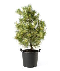 Dragon's Eye Pine Tree