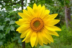 Sunflower for you @Afua Twum-Darko