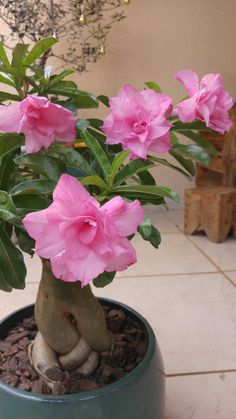 Dahlia Flower, Flower Pots, Pink Flowers, Cacti And Succulents, Planting Succulents, Planting Flowers, Desert Rose Plant, Desert Plants, Bonsai Plants