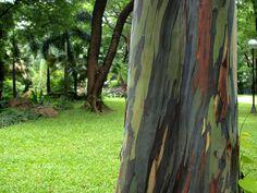 L'Eucalyptus deglupta è originario del sud est asiatico. #pianteinsolite