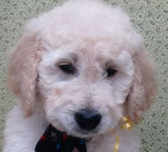 Goldendoodle Puppies - Hearthside Country