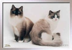 I have never liked cats, but I want a ragdoll cat so bad!