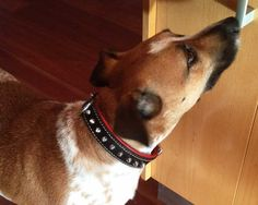 Customer Pictures: Cider (Cattle Dog X)