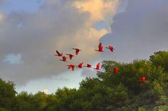 Scarlet ibis in flight. Trinidad, W.I.