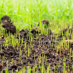 How Long Does it Take for Grass Seed to Grow? | Family Handyman | The Family Handyman Growing Grass From Seed, Best Grass Seed, Planting Grass Seed, How To Grow Grass, Fescue Grass Seed, Grass Species, Lawn Repair, Types Of Grass, Lush Lawn