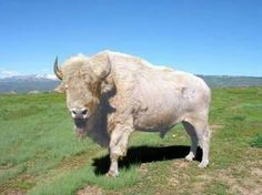 A white buffalo or white bison is an American bison possessing white fur, and is considered sacred or spiritually significant in several Native American religions; therefore, such buffalo are often visited for prayer and other religious rituals. Rare Animals, Animals And Pets, Wild Animals, Beautiful Creatures, Animals Beautiful, White Bison, American Bison, American Indians, Mundo Animal