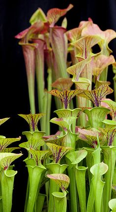 Sarracenia. Carnivorous flutes with beautiful hooded stems.