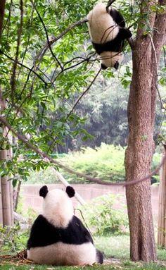 Imagen Oso Panda jugando en un arbol   [30-6-17]