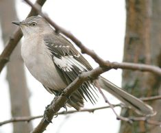 Northern Mockingbird. Had a pair of these birds in our yard a few years ago. Brighton, Ontario, Canada.