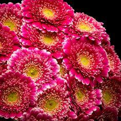 Certi Gerbera Germini Pomponi Selfie, roze, geel, boeket, bloemen, Certi #Bloemen, #Planten, #webshop, #online bestellen, #rozen, #kamerplanten, #tuinplanten, #bloeiende planten, #snijbloemen, #boeketten, #verzorgingsproducten, #orchideeën