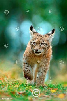 Mládě rysa v trávě, Cat Eurasian lynx in the green grass in czech forest, Eurasian Lynx, Green Grass, Panther, Cats, Animals, Outdoor, Gatos, Animales, Outdoors