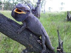 Eastern Bearded Dragon, Bearded Dragon Diet, Photo Reference, Reptiles, Owl, Bird, Animals, Komodo Dragons, Image