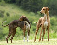 Azawakhs - one of the many breeds of Sight Hounds