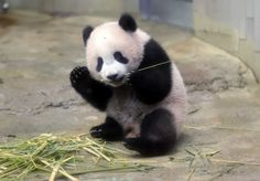 TOKYO (AP) — Tokyo's new baby panda debuted formally Tuesday, immediately melting the hearts of hundreds of lucky fans
