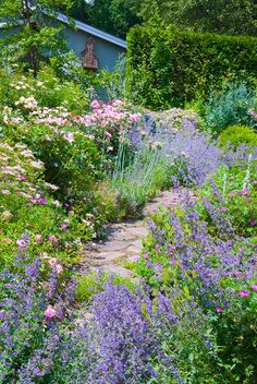 Catmint Nepeta Blue Wonder and Rosa The Fairy roses, flowers with pink roses, blue house, flagstone path through rambling loose cottage style garden plantings