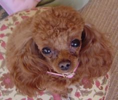 Red teacup poodle adult.