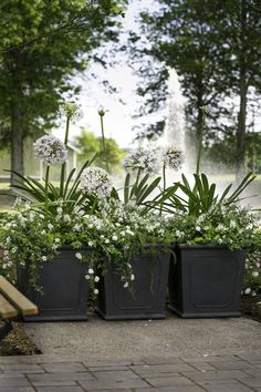 When sweet and sophisticated is the look you're going for...this is a great combo! #spring #flowers combo- queen mum agapanthus, white lantana, trailing rosemary by Carmen Johnston Gardens NOTE For sun and part shade.