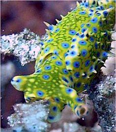 Oxynoe viridis (nudibranch)