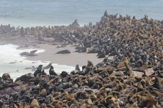 The Cape Fur Seal Colony of Cape Cross near Swakopmund in Namibia