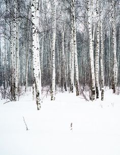 Endless miles of dense birch trees in Russia