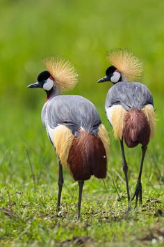 National Bird of Uganda by Per-Gunnar Ostby on 500px Grey Crowned Cranes in Murchison Falls National Park, Uganda