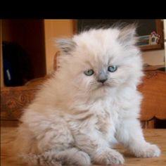 Luv my Himalayan Kitty's! Himalayan Kitten, Here Kitty Kitty, Kitty Cats, Grey Cats, Cute Cats And Kittens, Cool Pets, Cute Animals, Animal Fun, Crazy Cat Lady