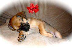 Puppies For Sale Goldendoodles In Flint Michigan Puppies