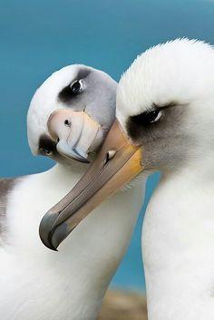 Albatross Snuggles~
