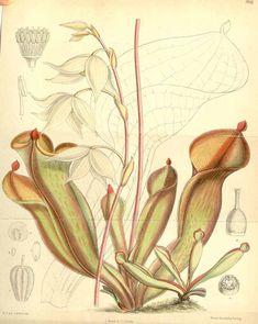 4619 Heliamphora nutans Benth. / Curtis's Botanical Magazine, vol. 116 [ser. 3, vol. 46]: t. 7093 (1890) [M. Smith]