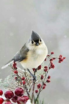 Cute Winter Bird - Tufted Titmouse by Christina Rollo