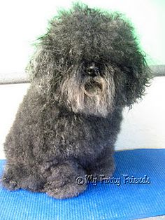 I'm obsessed with this pet groomer's blog... She literally works magic with clippers!  Check out her page and see the makeover she gave this dog!!