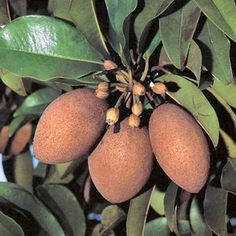 (Chico) Manilkara zapota, commonly known as the sapodilla....I want one for a container in our garden of joy.