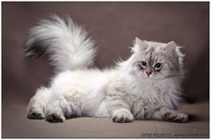 Galeria Zahir - Gatto Neva *PL Neva Masquerade & Maine coon Puppies And Kitties, Cats And Kittens, Blue Point Cat, I Love Cats, Cute Cats, Cat In Heat, Siberian Cat, Forest Cat, Maine Coon Cats