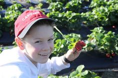 Strawberry picking in Bli Bli