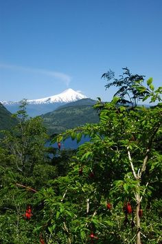 Fuchsia and volcano, Huerquehue National Park, Chile