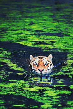 Tiger swimming in Green azolla