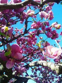 ticino switzerland - magnolia in bloom