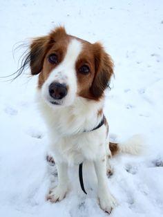 #kooiker#kooikerhound#winter#wonderland