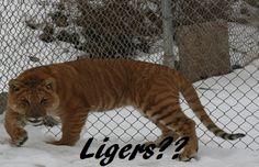 Sierra Safari Zoo - Reno, NV Safari, Animal Species, Sierra Nevada, Predator, Road Trip, Travelogue, Park, Animals, Google Search