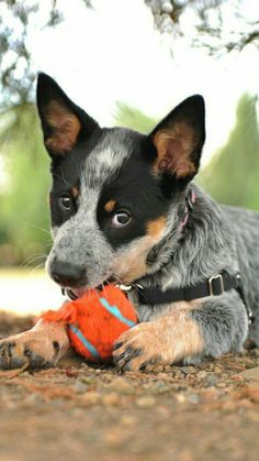 Australian Cattle Dog Australian Cattle Dog Red, Aussie Cattle Dog, Austrailian Cattle Dog, Baby Dogs, Dogs And Puppies, Doggies, I Love Dogs, Cute Dogs, Serval Kitten