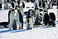 Adult emperor penguins and grey fluffy chicks on sea ice Emperor Penguins, Sea Ice, Bird Species, Grey, Penguins, Gray