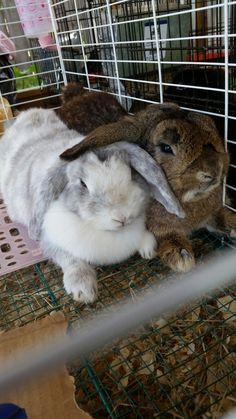 Holland Lop Rabbits, lop ear bunnies, lop ear rabbits