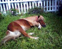 a miniature horse takes a rest in the front yard of a house in Hollywood Florida.