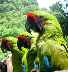 Maquenque is a top bird-watching hotel & Costa Rica eco lodge. The natural habitat range of the Buffon's Macaw is from Central America to northern South America.