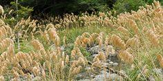 cortaderia fulvida (alpine toetoe) Flora, Public, Trees, Gardening, Space, Plants, Floor Space, Tree Structure, Lawn And Garden