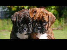 FREE SHIPPING WORLD WIDE! BUY ONE & GET ONE FREE! PURCHASE THIS PHOTO AND RECEIVE YOUR OWN PHOTO WITH FREE SHIPPING! You need to send your digital photo by email in order to get your glossy photo. Boxer Puppies - 8 inches X 12 inches size. Photos will be shipped with a thick and water-proof ...