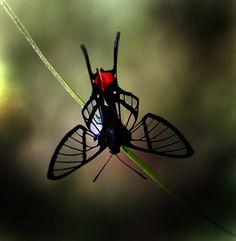 Octauius Butterfly