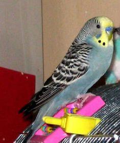 birds birds birds Fancy Parakeet, Parakeets, Black Spot, Birds, Rainbow, Bird